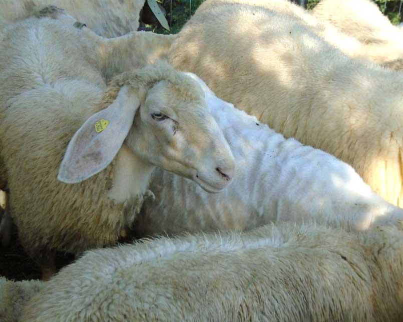 acquistata lana biellese